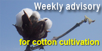 Weekly advisory for Cotton farmers